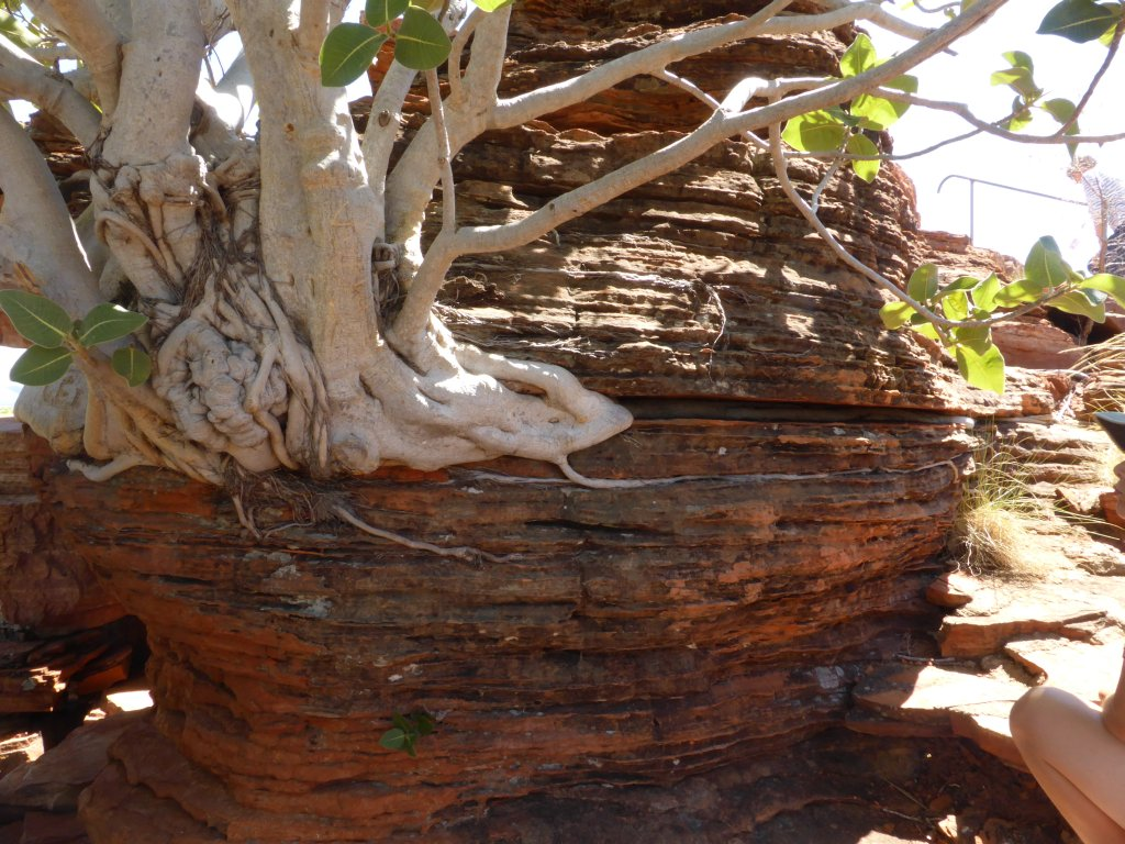 Check out this tree growing fully on the rock! The roots have found there way through the crevices in the sandstone layers.