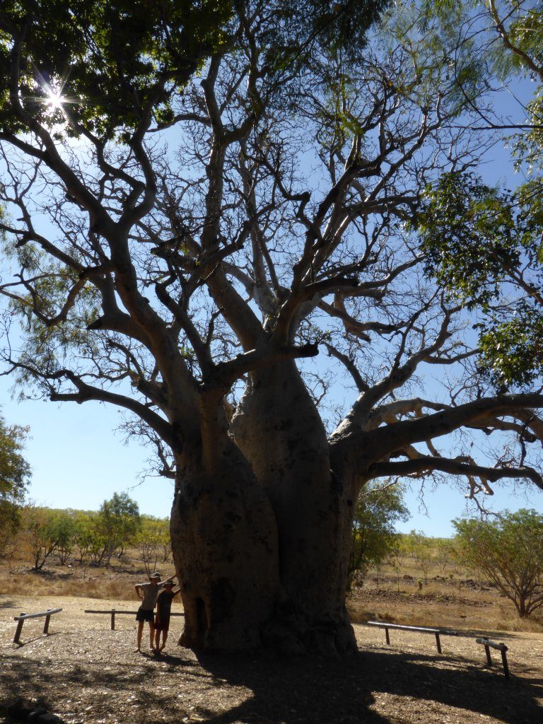 the biggest boab tree 'in captivity', whatever that means (got to claim something I guess...)