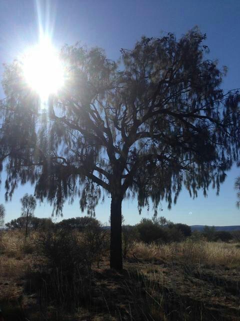 Desert Oak - beautiful trees. Photo by Nikki.