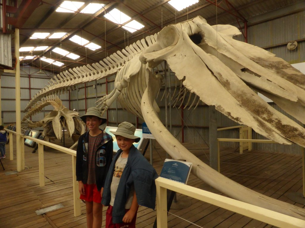 pygmy whale skeleton