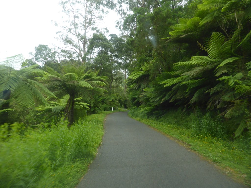 Ferns lining Tarra Valley Road