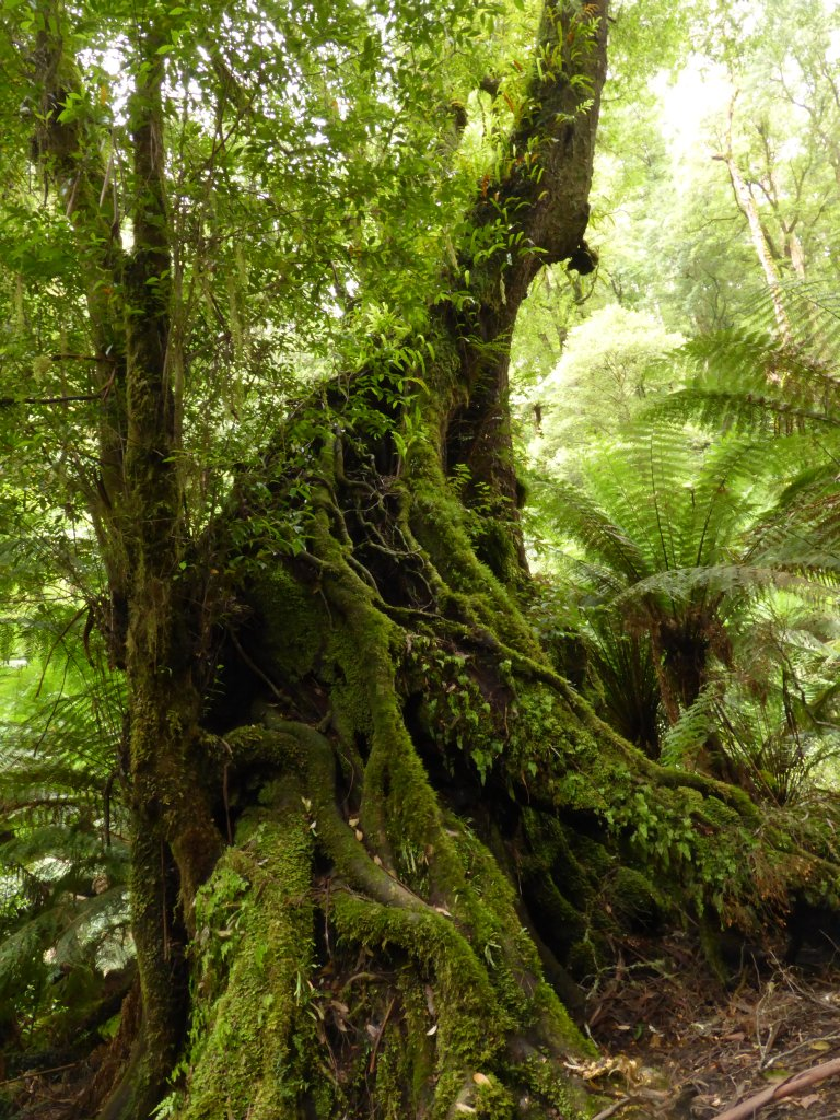 Myrtle Beech tree. This is an original rainforest tree true to its habitat.
