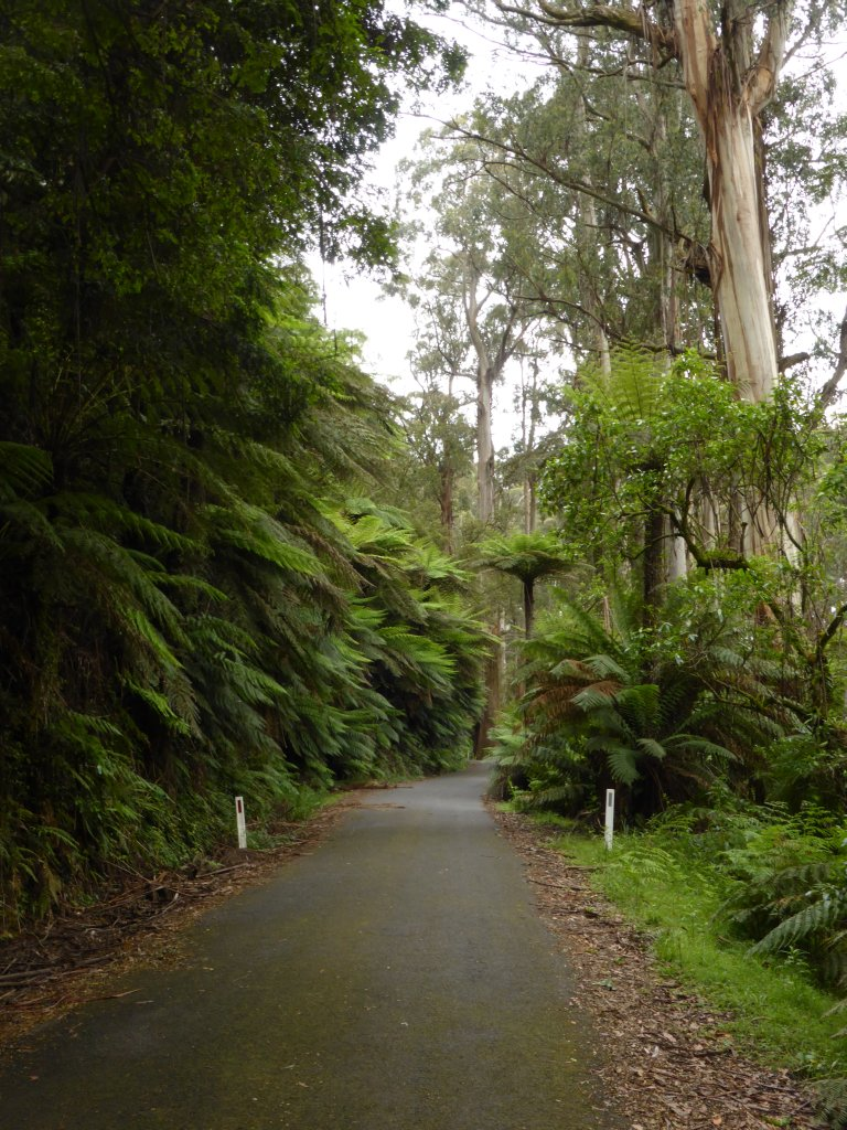 More Tree Fern lined road amoungst regrowth eucalyptus