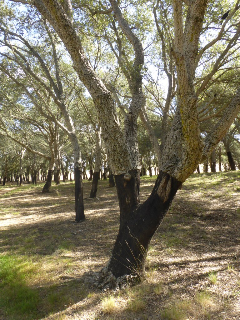 Cork Oak trees. These have had the bark stripped/removed once. Can be done once every decade or so!